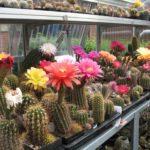 Tricho-Hybriden in Blüte