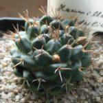 Mammillaria boeldeliana