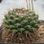 Mammillaria boelderiana
