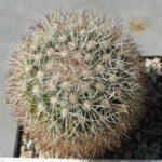 Mammillaria buxbaumiana