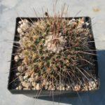 Mammillaria canelensis