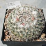 Mammillaria chionocephla