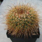 Mammillaria discolor