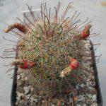 Mammillaria grahamii v. oliviae