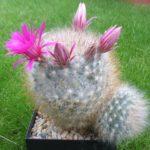Mammillaria guelzowiana robustior