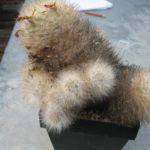 Mammillaria guelzowiana v. robustior