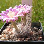 Mammillaria longiflora