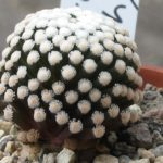 Mammillaria luethyi wurzelecht
