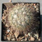 Mammillaria microhelia ML 285