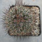 Mammillaria microhelionopsis