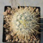 Mammillaria moelleriana f. cowperi