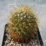 Mammillaria rekoi v. aureispina REP939