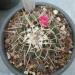 Mammillaria villensis magnimamma