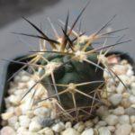 Acanthocalycium ferrari Jungpflanze