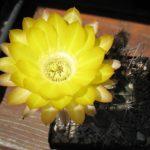 Acanthocalycium ferrari gelb