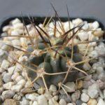Acanthocalycium glaucum Jungpflanze