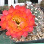 Acanthocalycium glaucum orange