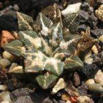Ariocarpus kotschoybianus