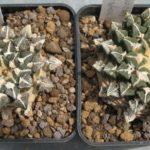 Ariocarpus kotschoybianus Jungpflanzen