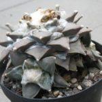 Ariocarpus spec.