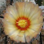 Astrophytum Hybride