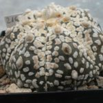 Astrophytum Snowkabuto