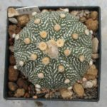 Astrophytum asterias Hybride