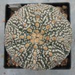Astrophytum asterias Super Kabuto