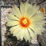 Astrophytum asterias f. nuda