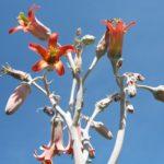 Cotyledon undulata Blüten
