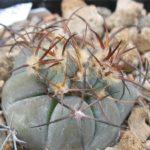 Echinocactus horizonthalonius Kindel nach Scheitelverletzung?