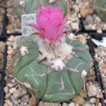 Echinocactus horizonthalonius Tula