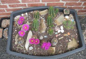 Echinocereen winterhart im Mörtelkübel ausgepflanzt