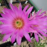 Echinocereus pseudopectinatus