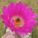 Echinocereus rigidissimus L088 rosa Blüte