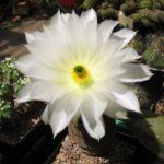 Echinocereus rigidissimus L088 weiße Blüte