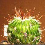 Echinofossulocactus obvallatus