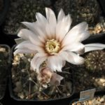 Gymnocalycium strigelianum