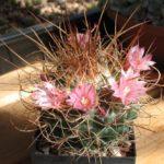 Mammillaria pettersonii