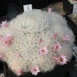 Mammillaria plumosa rosa