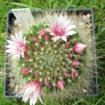 Mammillaria pubispina