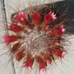Mammillaria rekoi v. leptacantha