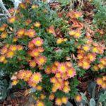 Bunte Chrysantheme