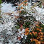 Chrysantheme und Silberblatt