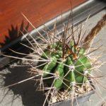Echinopsis rhodotricha ssp. chacoana AA182