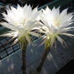 Echinopsis eyrisii