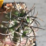 Eriosyce subgibbosa Dornen