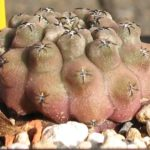 Eriosyce tenuis