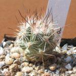 Escobaria zilziana