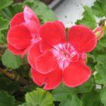 Himbeerrot mit rosa Schlund